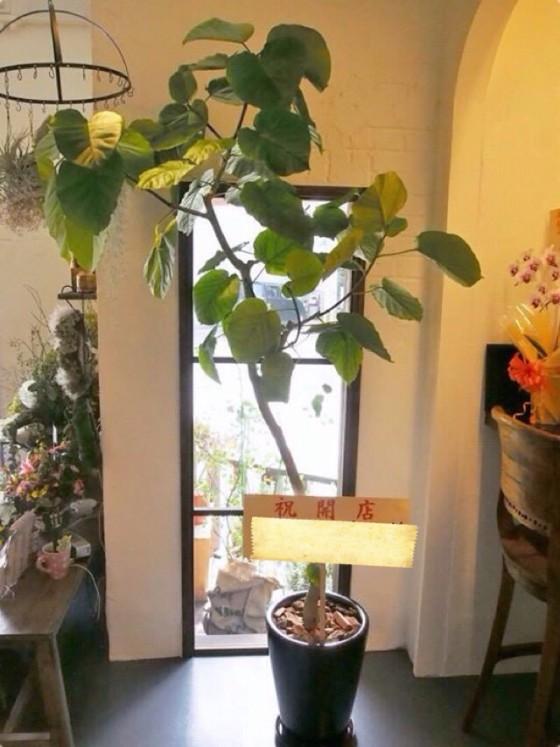 12観葉植物8寸8000円尺鉢10000円から写真は20000円